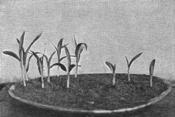 A black and white old photograph of a shallow round dish.  Half has young plants from clean seed, half started with weevilly seed, which is smaller.
